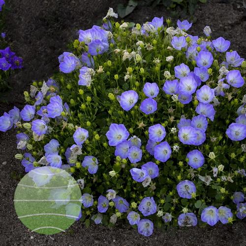 Walter Blom Plants-Walters Gardens-Campanula-carpatica-Delft-Teacups