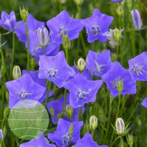 Walter Blom Plants-Walters Gardens-campanula-carpatica-violet-teacups