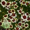 Coreopsis verticillata Sizzle 'n' Spice Red Hot Vanilla 1