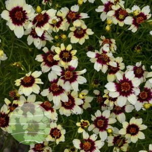 Walter Blom Plants-Walters Gardens-coreopsis-verticillata-sizzle-n-spice-red-hot-vanilla