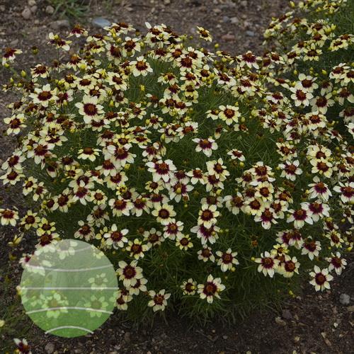 Walter Blom Plants-Walters Gardens-corepsis-verticillata-sizzle-n-spice-red-hot-vanilla