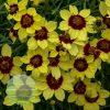 Coreopsis verticillata Sizzle 'n' Spice Sassy Saffron 1