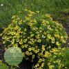 Coreopsis verticillata Sizzle 'n' Spice Sassy Saffron 2
