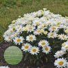 Leucanthemum Cream Puff WGS 1