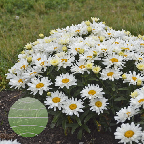 Walter-Blom-Plants-Leucanthemum-Walters-Gardens-Cream-Puff
