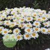 Leucanthemum Cream Puff WGS 2
