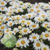 Leucanthemum Cream Puff WGS 3