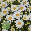 Leucanthemum Cream Puff WGS 4