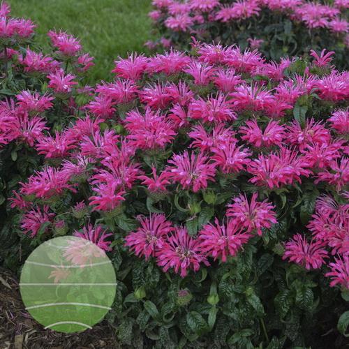 Walter Blom Plants-Walters Gardens-Monarda-Electric Neon Pink