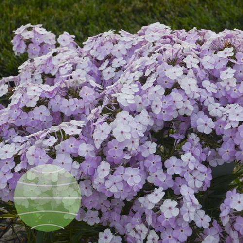 Walter Blom Plants-Walters Gardens-Phlox-Amethyst-Pearl