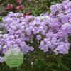 Phlox-Walter-Blom-Plants-Amethyst-Pearl