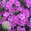 Phlox-Pink-Minuet