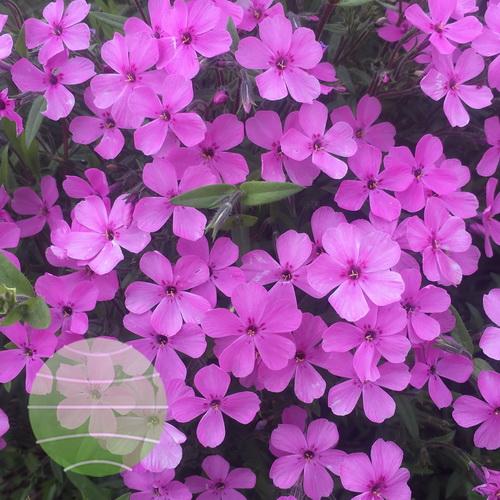 Walter Blom Plants-Walters Gardens-Phlox-Pink-Minuet