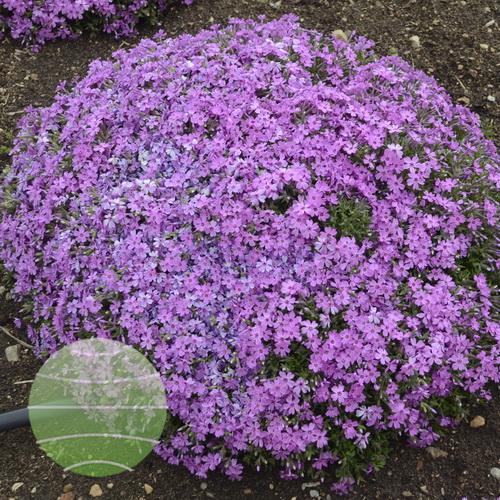 Walter Blom Plants-Walters Gardens-Phlox-Rocky-Road-Pink
