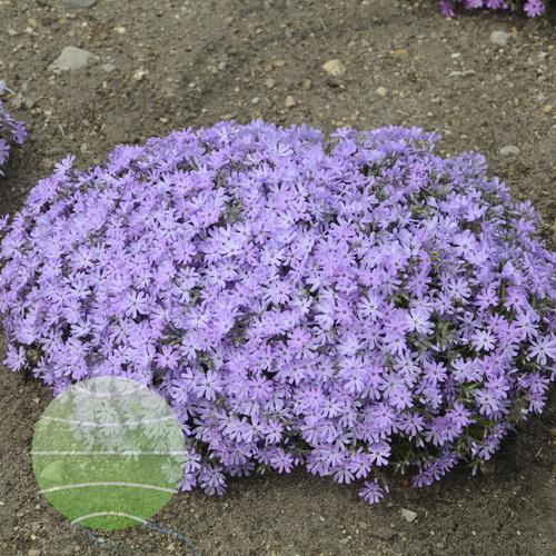 Walter Blom Plants-Walters Gardens-Phlox-subulata-Bedazzled-Lavender