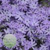 Phlox-subulata-Bedazzled-Lavender