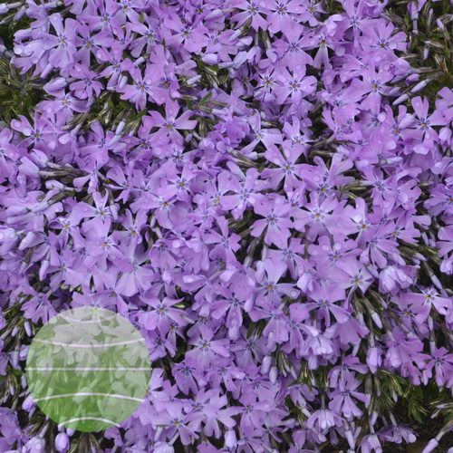 Walter Blom Plants-Walters Gardens-Phlox-subulata-Bedazzled-Orchid