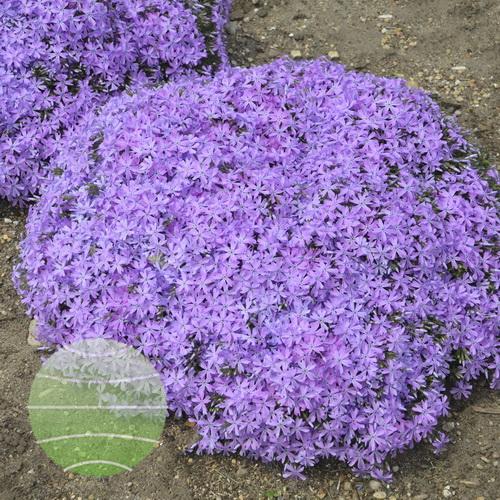 Walter Blom Plants-Walters Gardens-Phlox-subulata-Bedazzled-Orchid