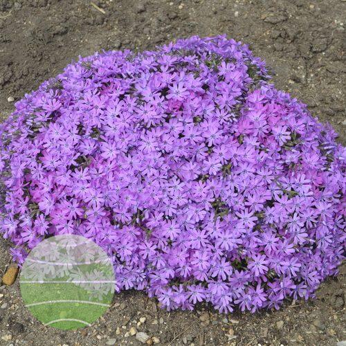 Walter Blom Plants-Walters Gardens-Phlox-subulata-Bedazzled-Pink