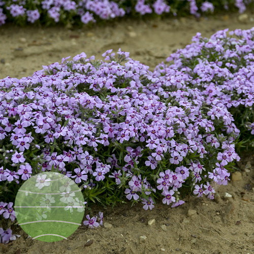Walter Blom Plants-Walters Gardens-Phlox-subulata-Eye-Candy