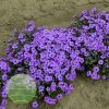 Phlox-subulata -Eye-Shadow