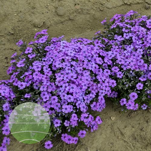 Walter Blom Plants-Walters Gardens-Phlox-subulata-Eye-Shadow