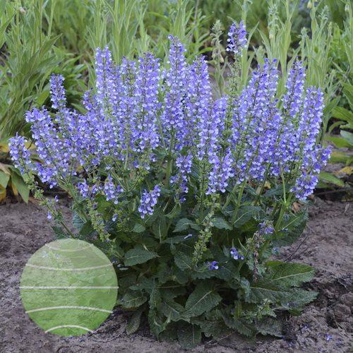 Walter Blom Plants-Walters Gardens-Salvia-nemorosa-Color-Spires-Azure-Snow