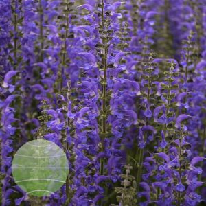 Walter Blom Plants-Walters Gardens-Salvia-nemorosa-Color-Spires-Indiglo-Girl