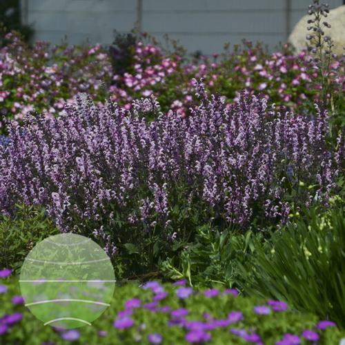 Walter Blom Plants-Walters Gardens-Salvia-nemorosa-Color-Spires-Pink-Dawn