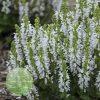 Salvia-nemorosa-Bumblesnow