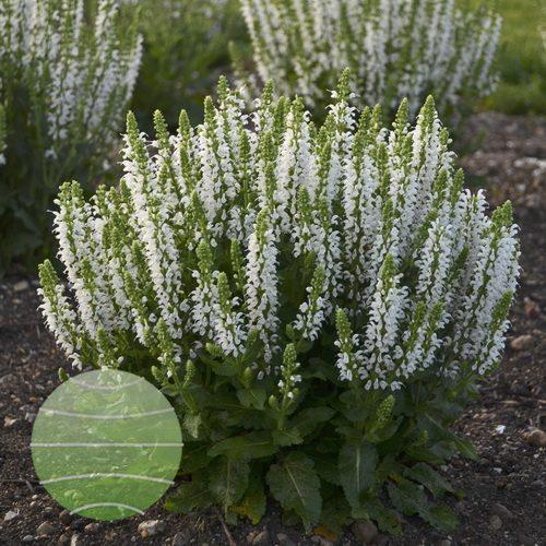 Walter-Blom-Plants-Walters-Gardens-Salvia-nemorosa-Bumblesnow