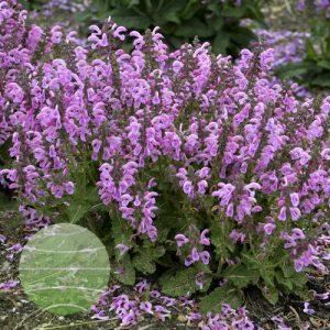 Walter Blom Plants-Walters Gardens-Salvia-pratensis-Fashionista-Sweet-Petite