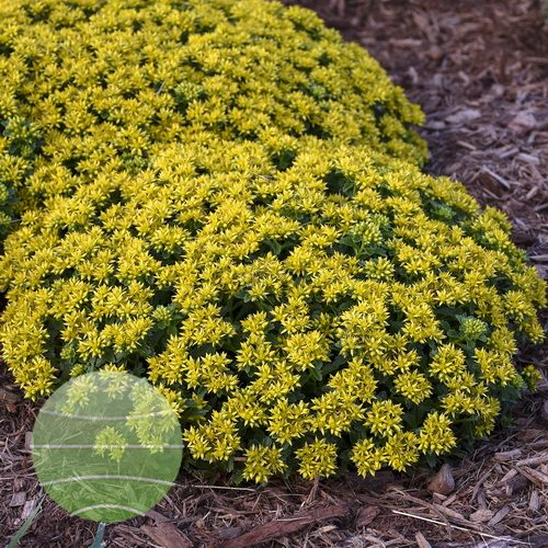 Walter Blom Plants-Walters Gardens-Sedum-Little-Miss-Sunshine
