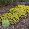 Sedum-Little-Miss-Sunshine