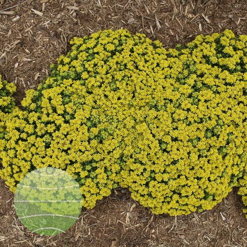 Walter Blom Plants-Walters Gardens-Sedum-Little-Miss-Sunshine