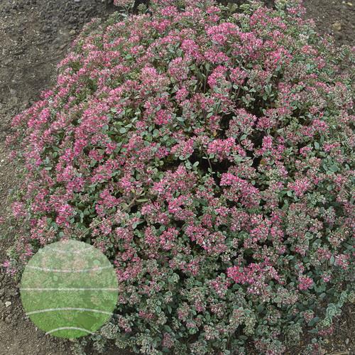 Walter Blom Plants-Walters Gardens-Sedum-Steel-the-Show