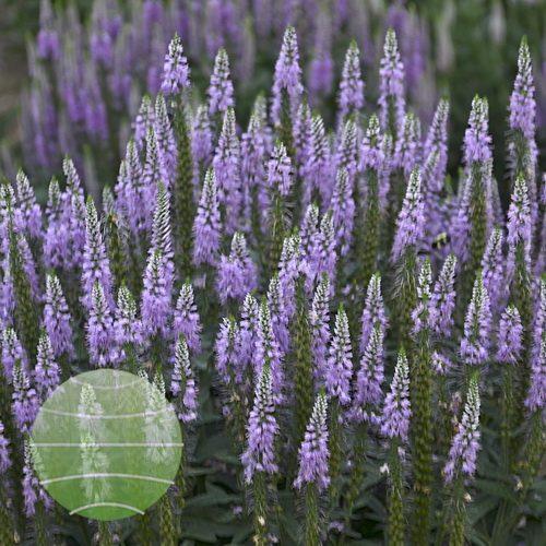 Walter Blom Plants-Walters Gardens-Veronica-Lavender-Lightsaber