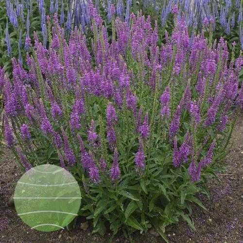 Walter-Blom-Plants-Walters-Gardens-Veronica-Mona-Lisa-Smile