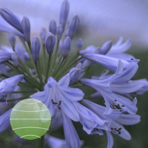 Agapanthus Blue Baby