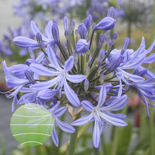 Agapanthus Vallée de l'Authion