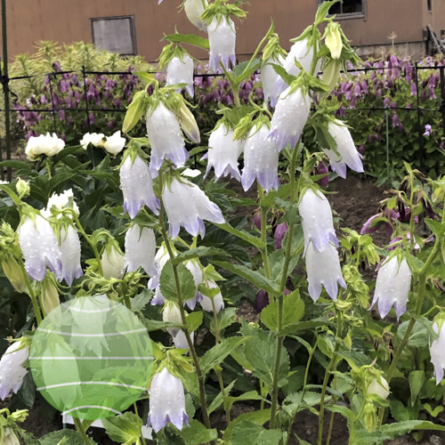 Campanula Country Bells White