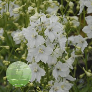 Delphinium Moerheimii