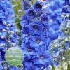 Delphinium Paramo Azul