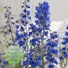 Delphinium Bella Andes Blue