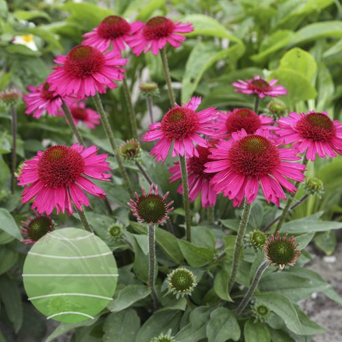 Echinacea 'Delicious Candy