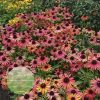 Echinacea Fountain Orange Bicolour