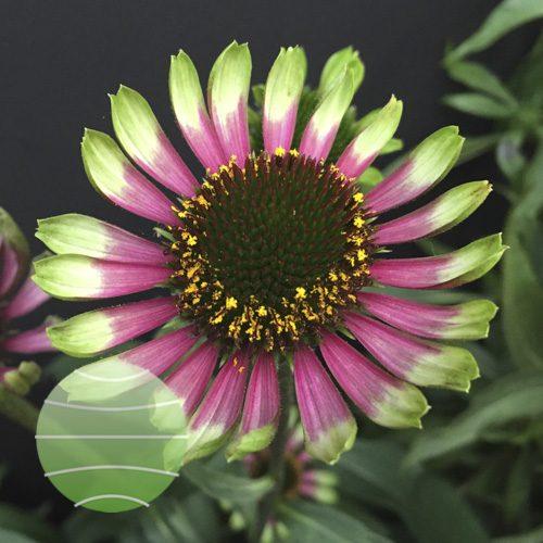 Echinacea p Choco Green
