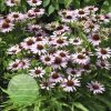Echinacea p Fountain Light Purple