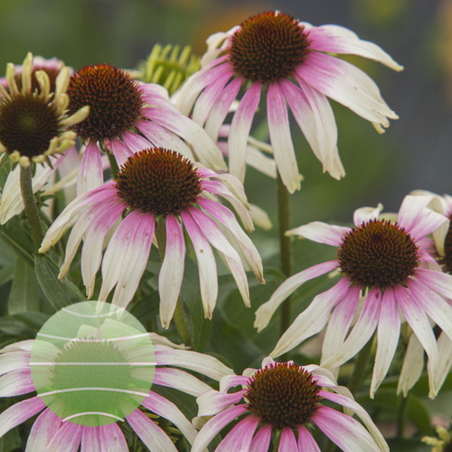 Echinacea p Fountain Pink Eye