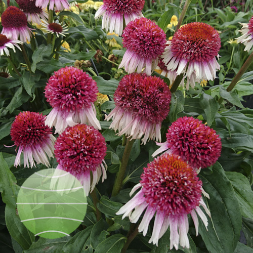 Echinacea p Strawberry & Cream